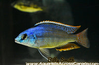 "PROTOMELAS TAENIOLATUS ""NDIWE"" (FIRE BLUE) (F1) 3"" SEXED - Aquarists Across Canada"