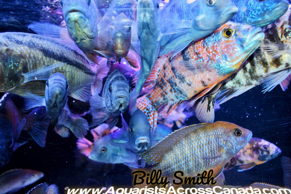 10 PACK MALE PEACOCK AND HAP MIX! - Aquarists Across Canada