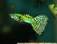 GUPPIES PURE STRAIN FANCY (Poecilia reticulata) - Aquarists Across Canada