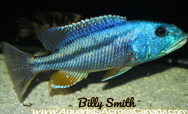 "ARISTOCHROMIS CHRISTYI *MALAWI HAWK* (HOUSEBRED F1) 6.5"" - Aquarists Across Canada"