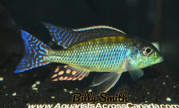 "LETHRINOPS ALBUS *KANDE ISLAND* F1 4"" MALE - Aquarists Across Canada"