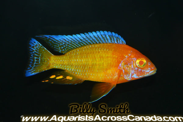 "AULONOCARA. SP ""RUBY ALBINO"" (ALBINO RUBY RED) 1"" UNSEXED - Aquarists Across Canada"