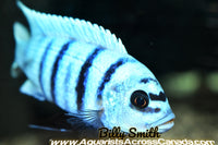 "METRIACLIMA FAINZILBERI *MAISONI REEF* (HOUSEBRED, DOMESTIC) 2-3"" - Aquarists Across Canada"
