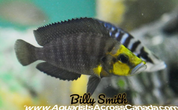 COMPRESSICEPS GOLD HEAD *MUZI* (Gold Head Muzi) - Aquarists Across Canada