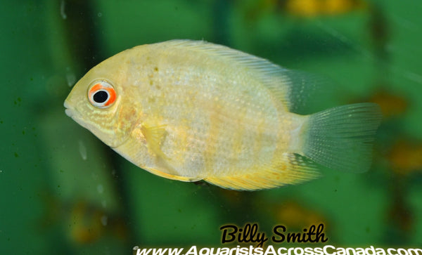 SEVERUM GOLD (Heros efasciatus) - Aquarists Across Canada