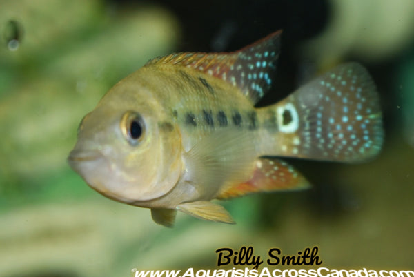 RED TERROR (Amphilophus Festae) - Aquarists Across Canada