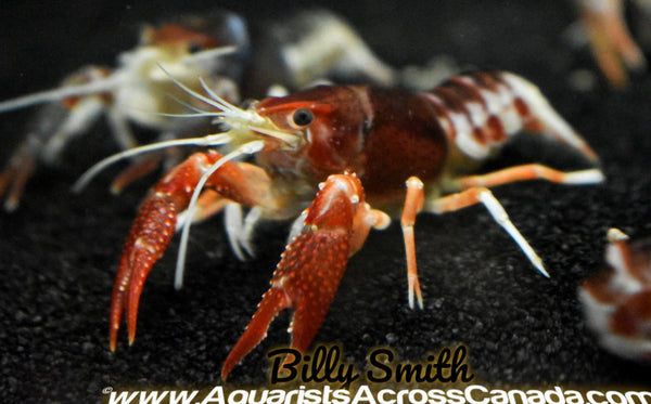 GHOST CRAYFISH (Procambarus clarkii .sp) - Aquarists Across Canada