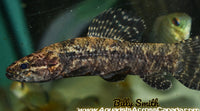 BLACK WOLF FISH (Hoplias Curupira) - Aquarists Across Canada