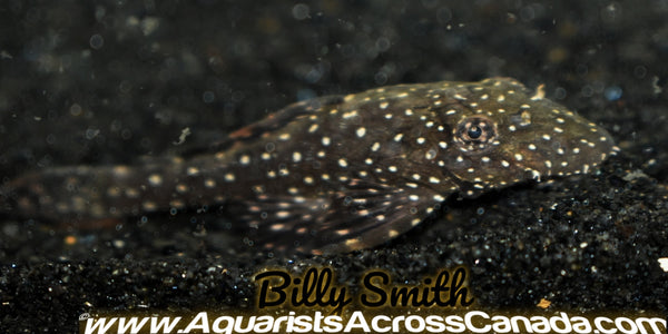 "ORANGE SPOT BRISTLENOSE (Ancistrus sp. Rio Ucayali) 2"" - Aquarists Across Canada"