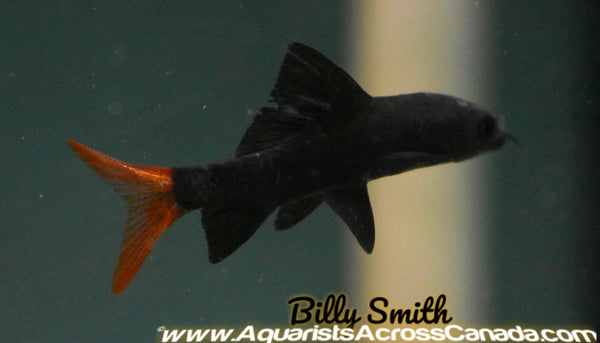 RED TAIL BLACK SHARK (Epalzeorhynchos bicolor) - Aquarists Across Canada