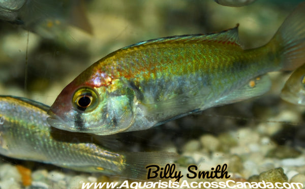 HAPLOCHROMIS .SP RUBY GREEN (Sexed) - Aquarists Across Canada