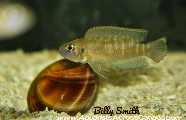 "NEOLAMPROLOGUS BREVIS ""KATABE"" SUNSPOT BREVIS - Aquarists Across Canada"