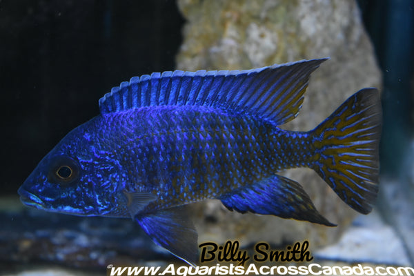 "AULONOCARA STUARTGRANTI .SP CHILUMBA (HOUSEBRED, F1) 2"" - Aquarists Across Canada"