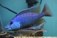 "CHAMPSOCHROMIS SPIROLYNCHUS (F1 HOUSEBRED) 3.5"" SEXED - Aquarists Across Canada"