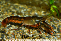 ORANGE TIP LOBSTER (Cherax Snowden) - Aquarists Across Canada