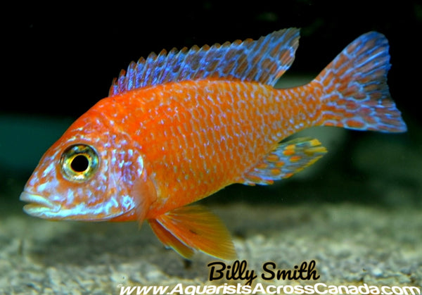 "AULONOCARA FIREFISH HOUSEBRED. DOMESTIC 4"" MALE"