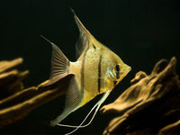 RIO NANAY ANGELFISH (Pterophyllum scalare) - Aquarists Across Canada