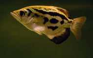 ARCHERFISH MYANMAR (Toxotes blythii)