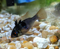 BLACK KNIGHT RAM (Microgeophagus ramirezi. Sp)