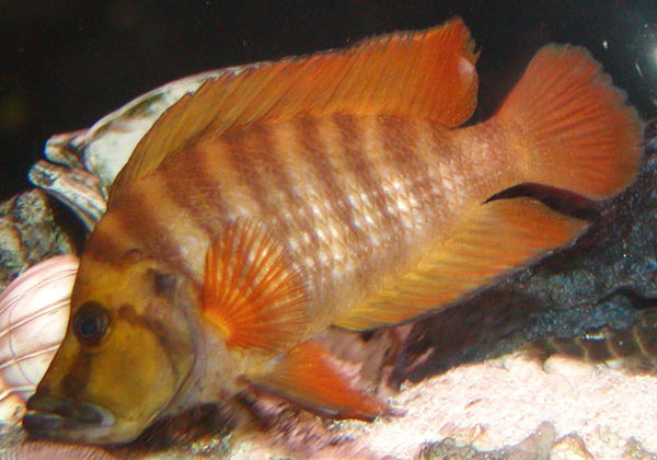 ALTOLAMPROLOGUS COMPRESSICEPS (FIRE FIN) *KIGOMA* F1 - Aquarists Across Canada
