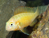 FIRECRACKER TROPHEUS GOLDEN (Tropheus Moliro .sp Gold)