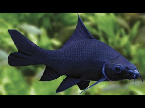 BLACK SHARK (Labeo chrysophekadion ) - Aquarists Across Canada