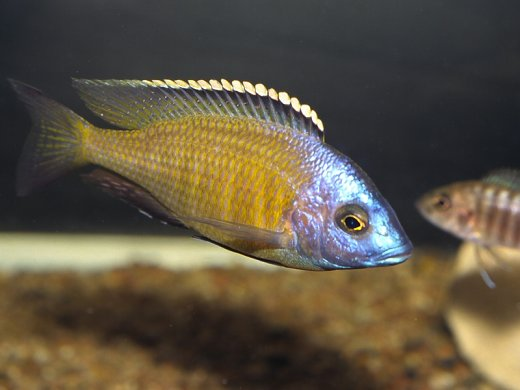 "PLACIDOCHROMIS .SP GOLD ""Mbamba Bay"" 4"""