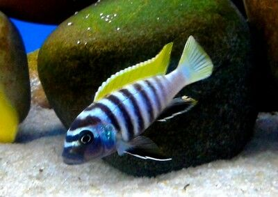 "JALO REEF (Cynotilapia zebroides ""jalo reef"" 2"" - Aquarists Across Canada"