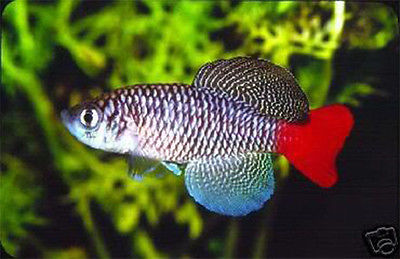 RED TAIL TURQUOISE KILLIFISH (Nothobranchius Patrizii) - Aquarists Across Canada