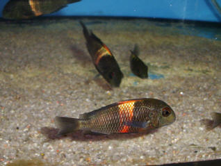 "RED SADDLE TROPHEUS (Tropheus Moorii ""Rutunga"")"