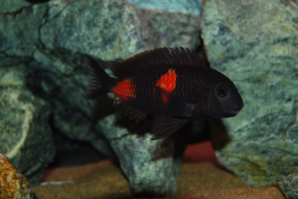 TROPHEUS .SP BULU POINT (CHERRY SPOT) - Aquarists Across Canada