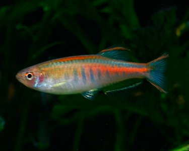 GLOWLIGHT DANIO (Danio Chopra) - Aquarists Across Canada