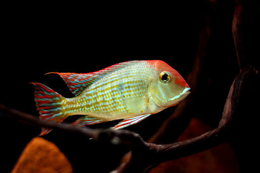 GEOPHAGUS TAPAJOS (Geophagus sp. 'orange head') - Aquarists Across Canada