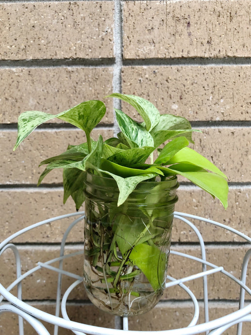 Pothos Variegata Cuttings