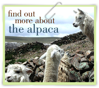 Alpacas on rocky terrain.