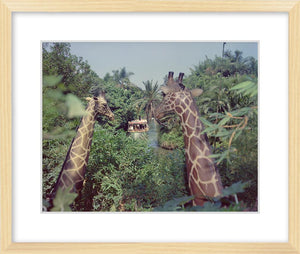 """Giraffes in the Jungle Cruise"" from Disney Photo Archives"