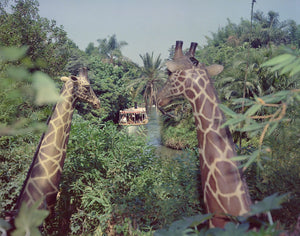 Two giraffes overlooking the Jungle Cruise at Disneyland Park, August 1960