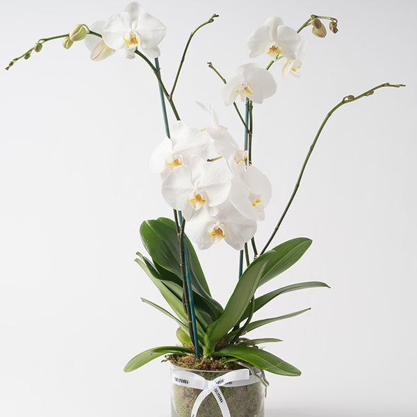 Three Stem Phalaenopsis Orchid