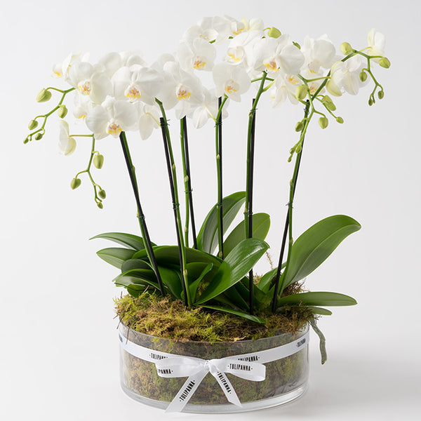 Five Stem Phalaenopsis Orchard