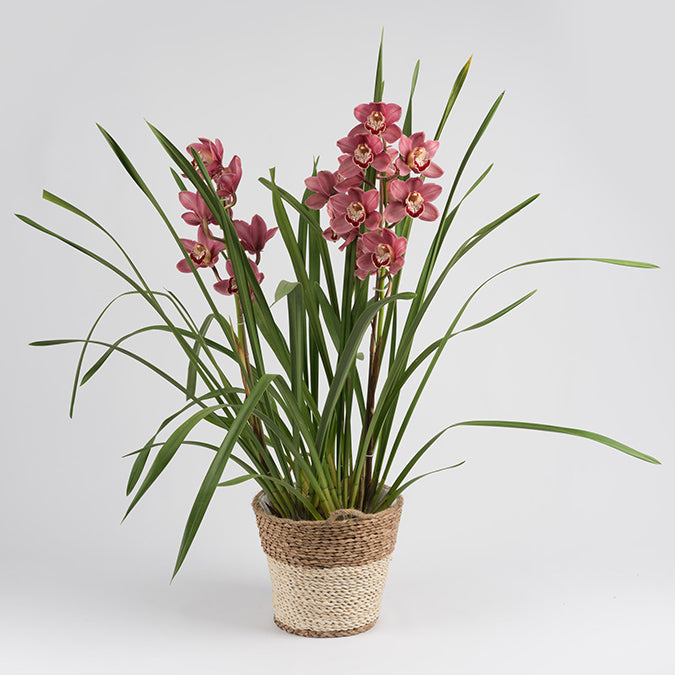 Cymbidium Orchard