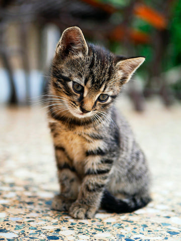 young tabby kitten