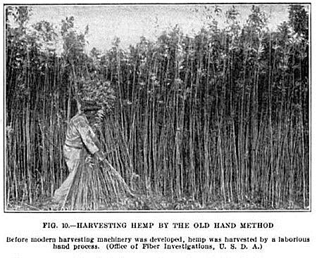 old illustration of hand-harvesting hemp