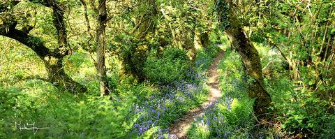 Spring Bluebelle Path - markfowlerimages.com