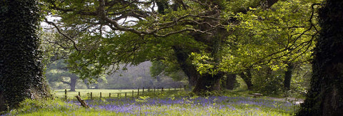 Ancient Oaks And Blue Bells - markfowlerimages.com