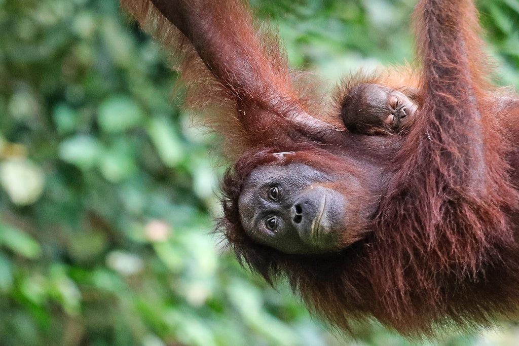 Mother and baby sumatran Orangutan in the rainforest. Photo by Chris Charles on Unsplash