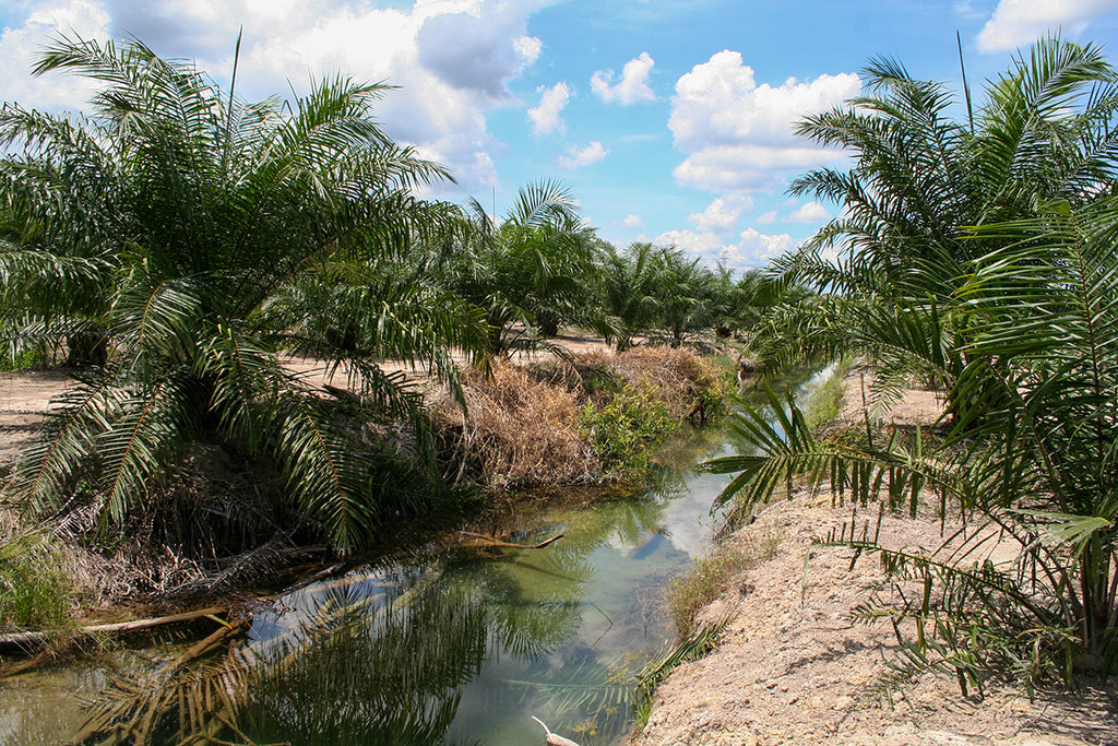 water pollution from palm oil plantation