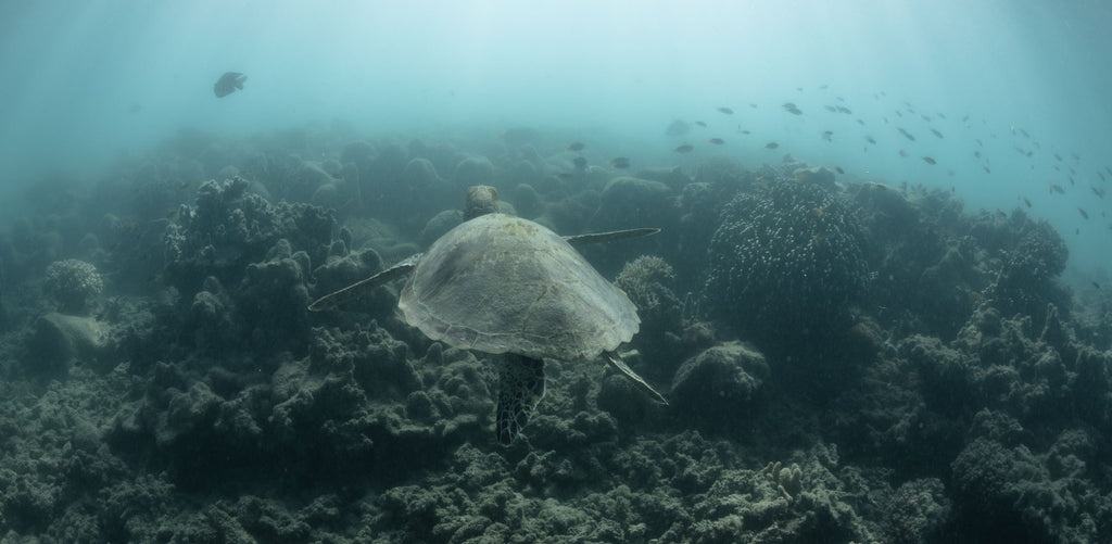 Green Sea Turtle Underwater photography