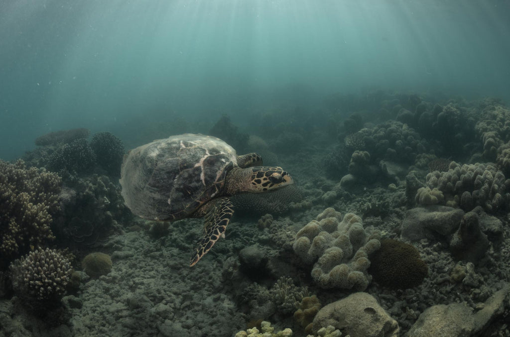 Hawksbill Turtle Underwater photography