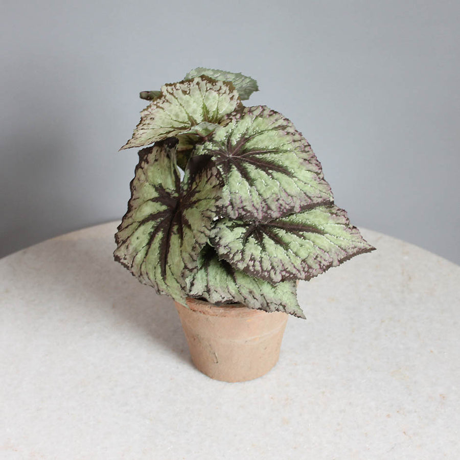 Small Begonia Pot Plant