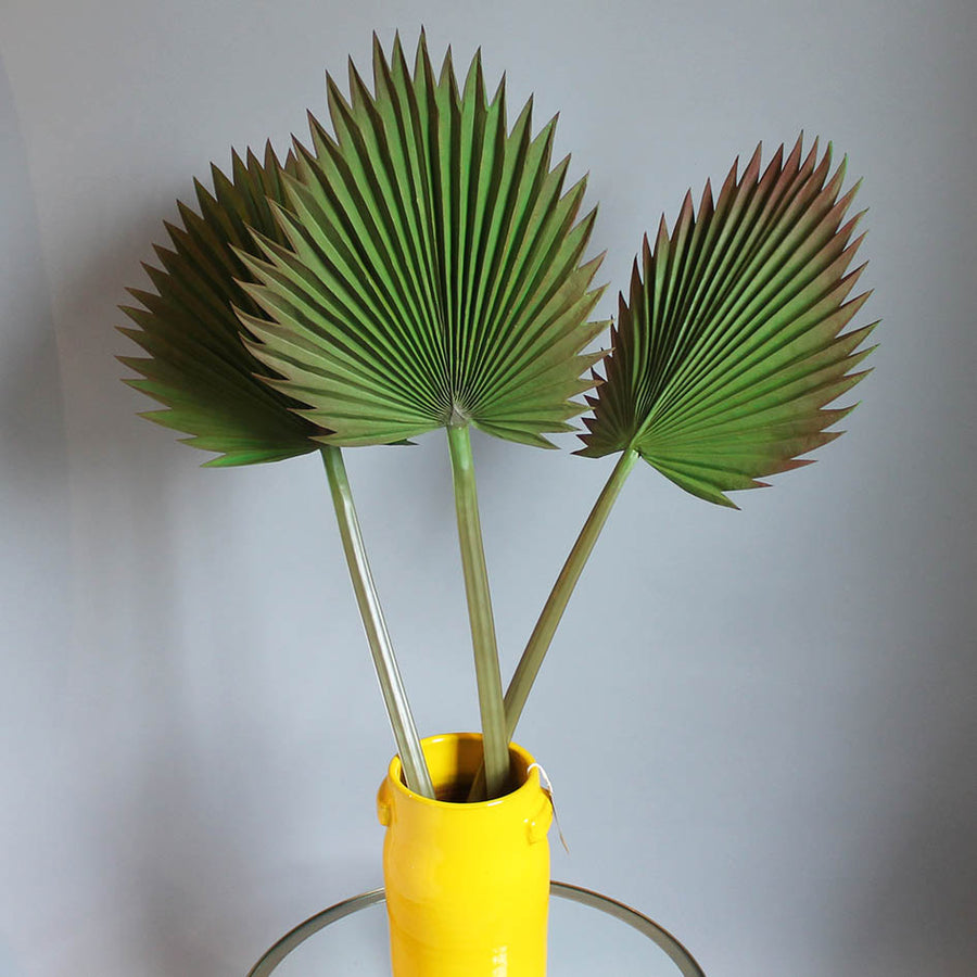 Egyptian Fan Palm